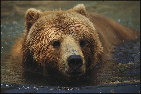 A Close View Of A Captive Kodiak Bear Print by Tim Laman