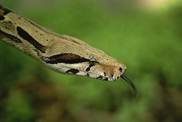 A Close View Of A Red-tailed Boa Print by Joel Sartore