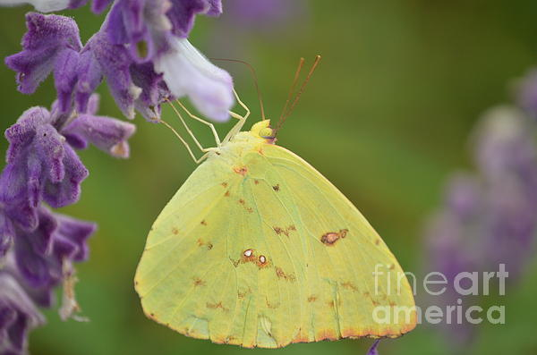 Kathy Gibbons - A Cloudless Sulphur