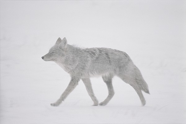 A Coyote Canis Latrans Moves Print by Annie Griffiths
