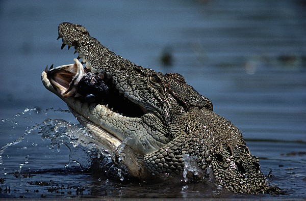 A Crocodile Eats A Giant Perch Fish Print by Belinda Wright