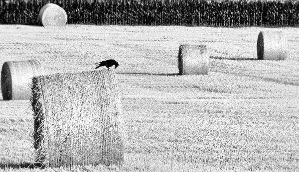 A Crow's Curiosity Print by Dana Walton