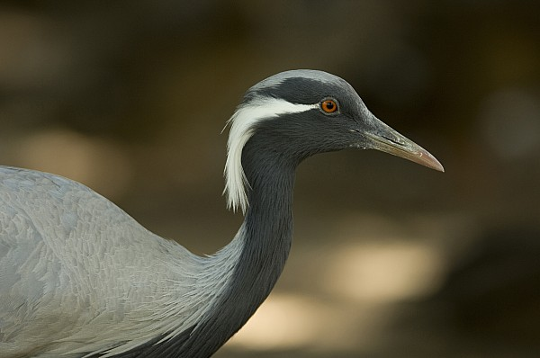 A Demoiselle Crane Anthropoides Virgo Print by Joel Sartore