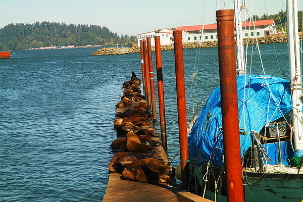 A Dock Of Sea Lions Print by Jeff  Swan