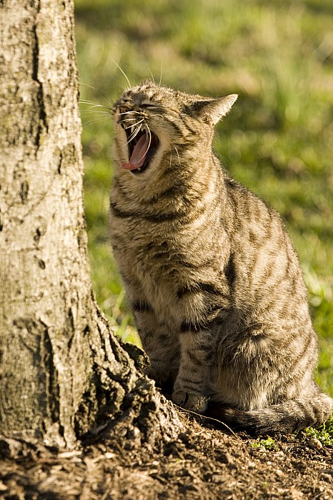 A Domestic Cat Yawning By A Tree Print by Tim Laman