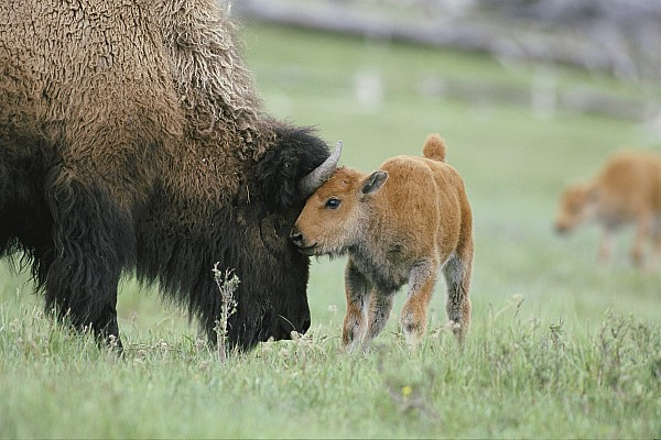 A Female Bison Bison Bison Stands Print by Tom Murphy