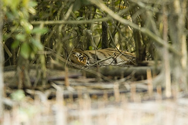 A Female Tiger Rests In The Undergrowth Print by Tim Laman
