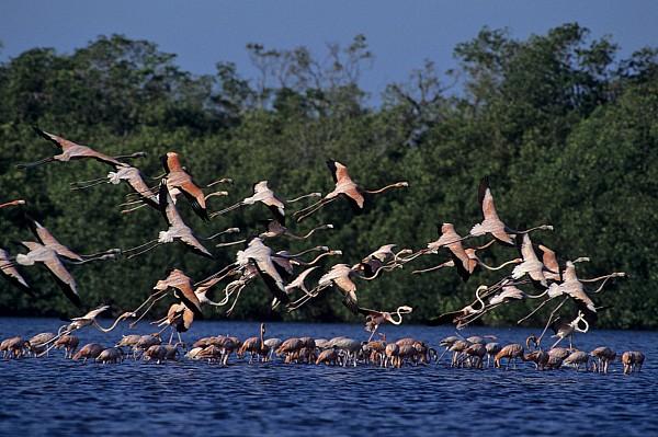 A Flock Of Flamingos Phoenicopterus Print by Kenneth Garrett