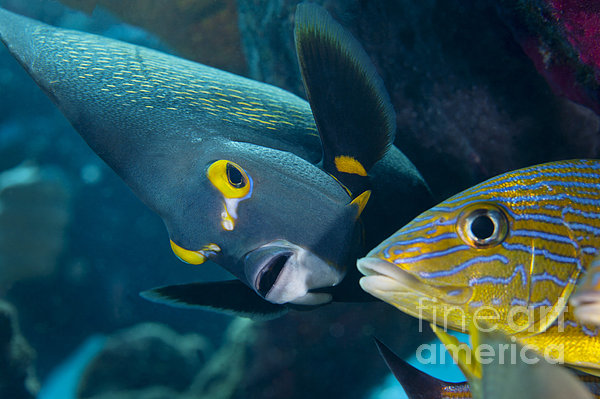 A French Angelfish Swims Up Close Print by Terry Moore