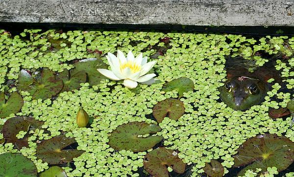 Barbara S Nickerson - A Frogs Kingdom