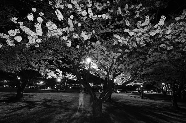 A Ghost In The Cherry Blossoms Print by Shirley Tinkham