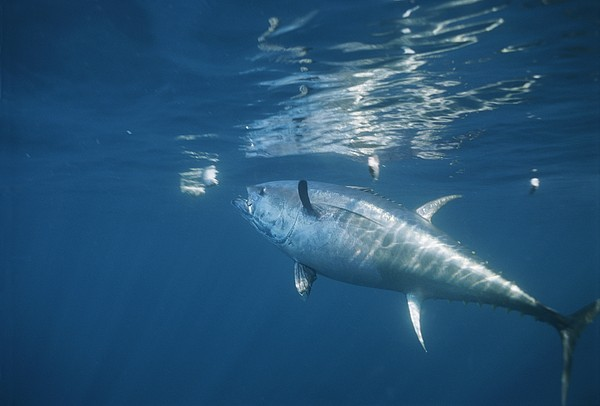 A Giant Bluefin Tuna Feeds Print by Brian J. Skerry