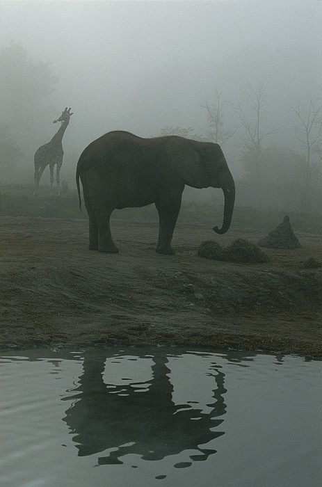 A Giraffe And Elephant Live In The Same Print by Michael Nichols