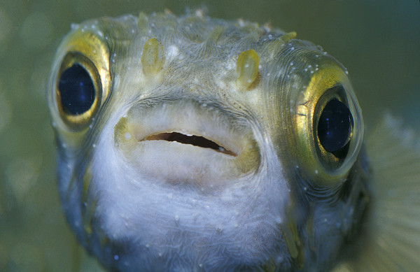A Globe Fish Also Known As A Puffer Print by Jason Edwards