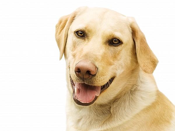 A Golden Labrador Print by Chris Knorr