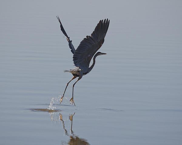 Steve Creek - A Great Blue Heron Lifting Off