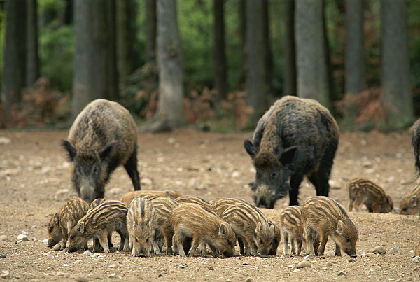 A Group Of Young Wild Boars Nose Print by Norbert Rosing