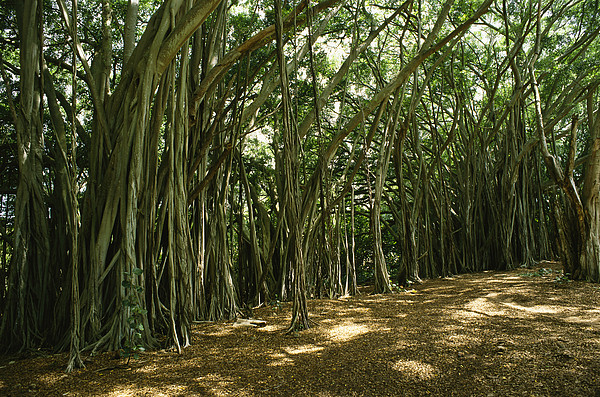 A Grove Of Banyan Trees Send Airborn Print by Paul Damien