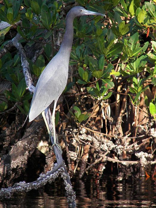 A Heron Type Bird In The Mangroves Print by Judy Via-Wolff