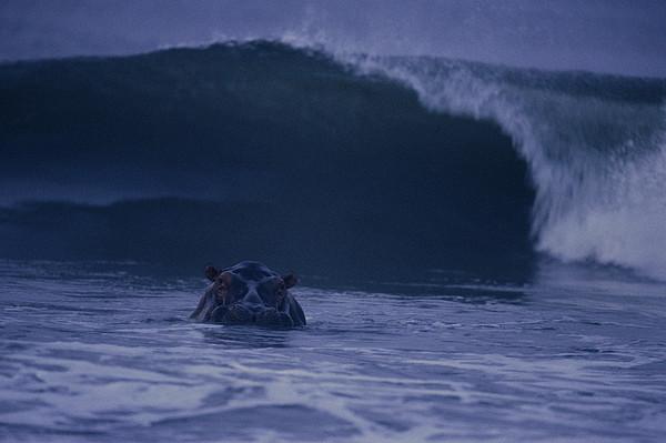 A Hippopotamus Surfs The Waves Print by Michael Nichols