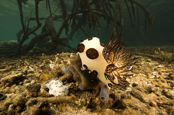A Large Nudibranch Feeds On A Sponge Print by Tim Laman