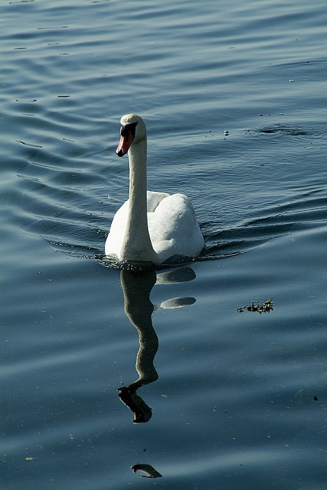 A Lone Swan Swims Through The Water Print by Todd Gipstein