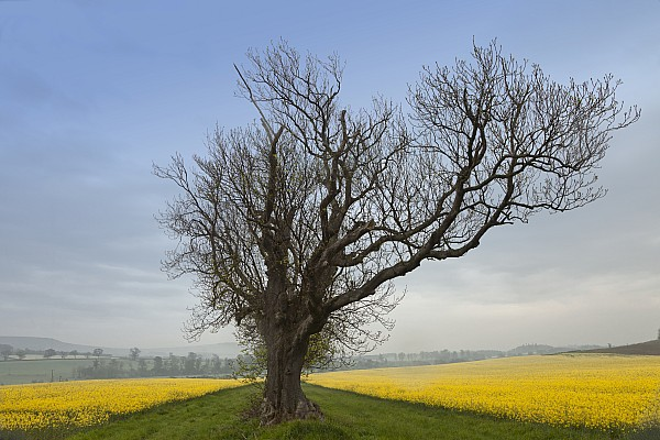 A Lone Tree On The Edge Of A Yellow Print by John Short