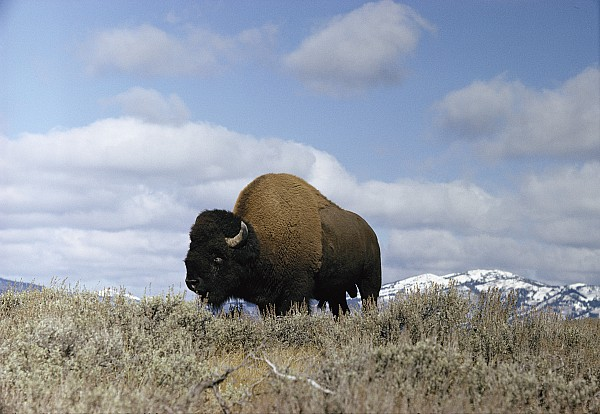 A Magnificent American Bison Bull Bison Print by Dr. Maurice G. Hornocker