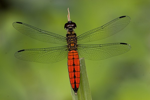 A Male Forest Chaser Dragonfly Rests Print by Joe Petersburger