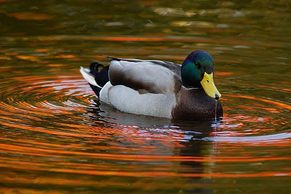 A Male Mallard Duck Drinking.  Fall Print by Darlyne A. Murawski