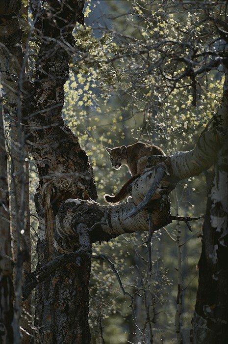 A Mountain Lion, Felis Concolor, Climbs Print by Jim And Jamie Dutcher