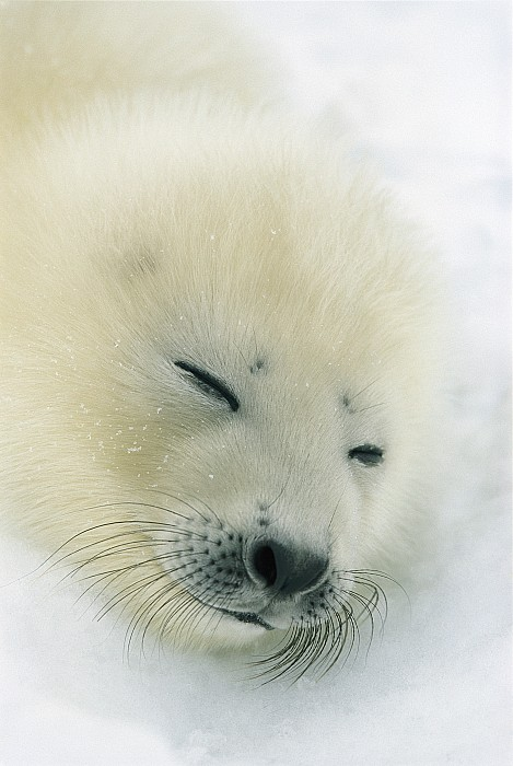 A  Newborn Harp Seal Pup In Its Thin Print by Norbert Rosing