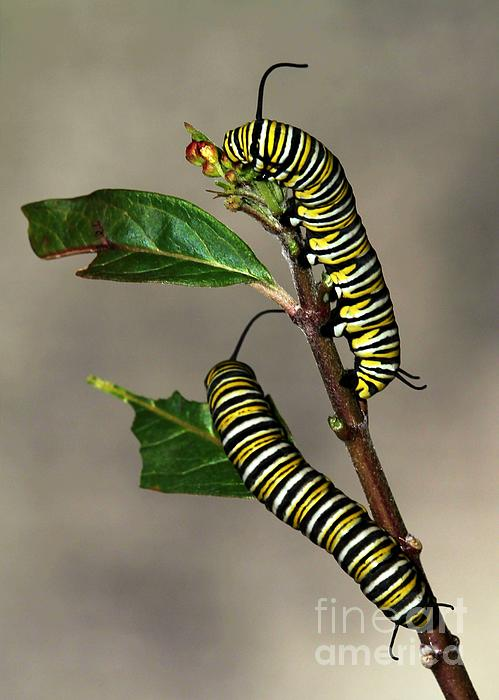 Sabrina L Ryan - A Pair of Monarch Caterpillars