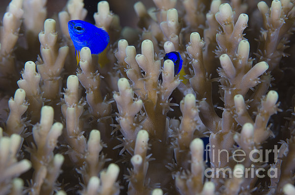 A Pair Of Yellowtail Damselfish Amongst Print by Steve Jones