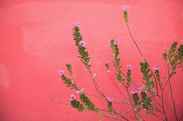 A Pink Flowering Plant Growing Beside A Print by Stuart Westmorland