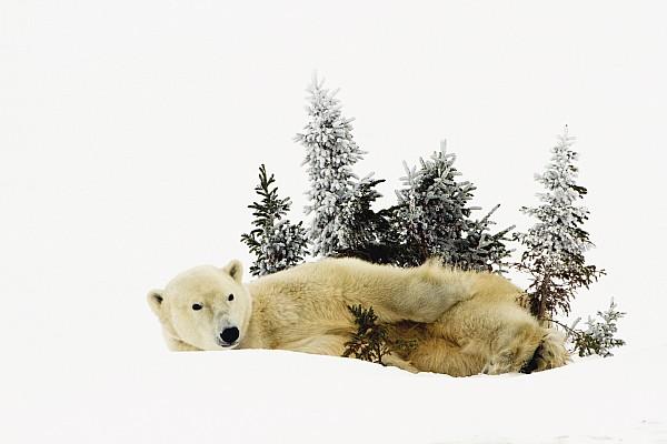 A Polar Bear Ursus Maritimus Print by Richard Wear