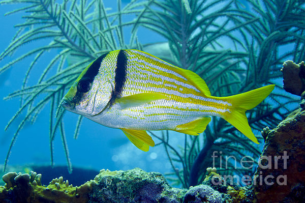 A Porkfish Swims By Sea Plumes Print by Terry Moore