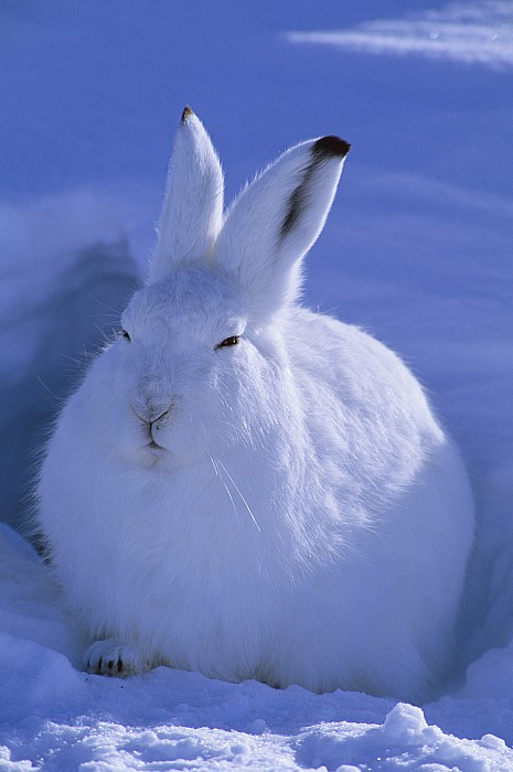 A Portrait Of An Arctic Hare Lepus Print by Paul Nicklen