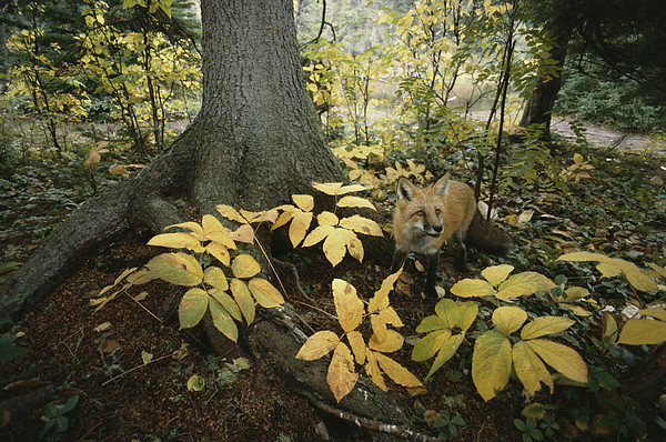 A Red Fox On Isle Royale In Lake Print by Annie Griffiths