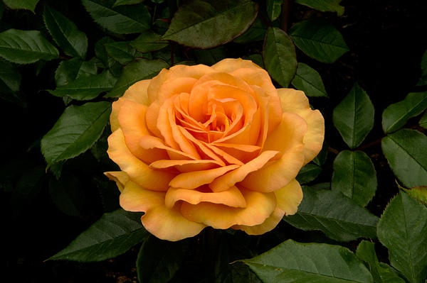 Donna Caplinger - A Rose is a Rose