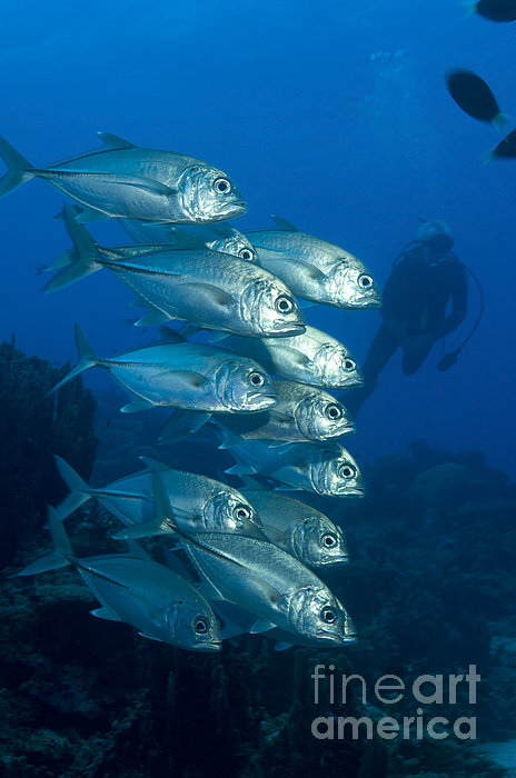 A School Of Bigeye Trevally, Papua New Print by Steve Jones