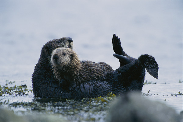 A Sea Otter Cradling Her Pup In A Kelp Print by Joel Sartore