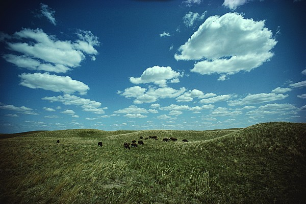 A Small Herd Of Bison Bison Bison Graze Print by James P. Blair
