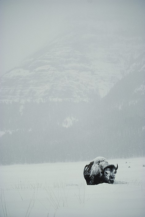 A Snow-covered American Bison Stands Print by Michael S. Quinton