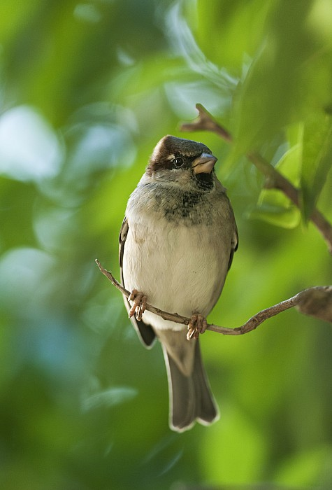 A Sparrow Perched On A Small Branch Print by Ben Welsh