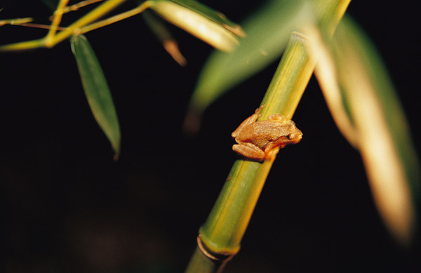 A Spring Peeper Frog Perches Print by Raymond Gehman