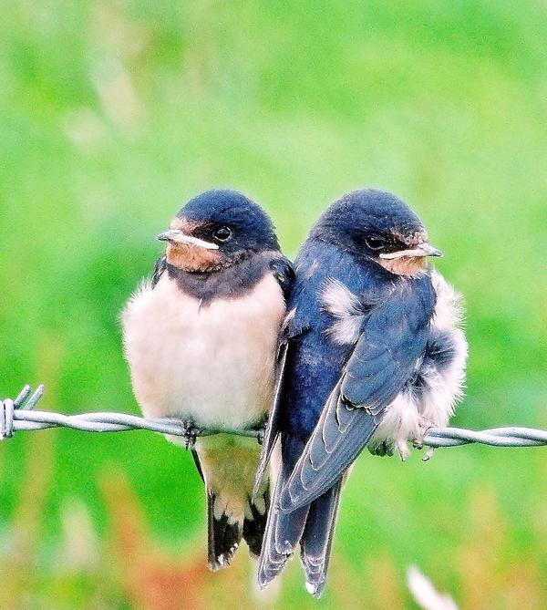 Laura McGlinn Photography - A Swallows Tale