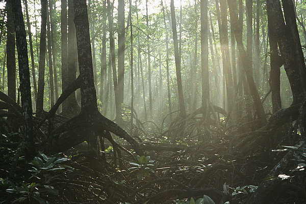A Tangle Of Buttressed Roots In A Misty Print by Tim Laman