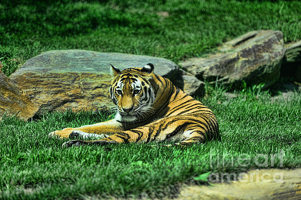 A Tiger's Gaze Print by Paul Ward