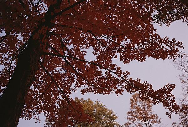A Tree Displays Bright Red Autumn Print by Stephen Alvarez